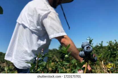 A man picks blueberries at a local blueberry farm.