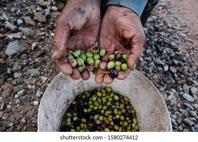Man with a pile of green olives in his hands freshly collected during the harvesting. Harvested fresh olives in the hands of farmer. Lesbos. Greece.