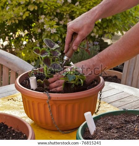 Man Planting Hanging Basket Flowers Summer Stock Photo (Edit Now ...