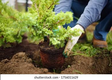 Man planting juniper plants in the yard. Seasonal works in the garden. Landscape design. Ornamental shrub juniper. - Shutterstock ID 1756011629