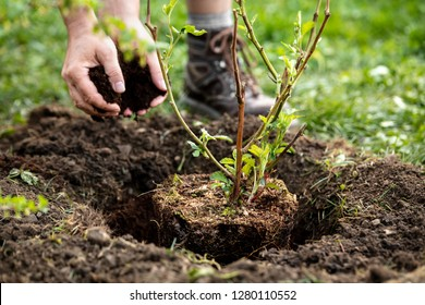 Man is planting a pot plant Rubus fruticosus into the garden, soil, bark mulch and gardening
