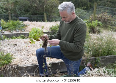 Man planting strawberries in his allotment