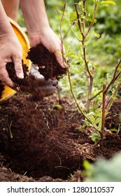 Man is planting a young blackberry bush into the soil, gardening and horticulture, Rubus fruticosus;