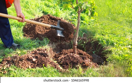 Man plants a small tree, hands holds shovel digs the ground, nature, environment and ecology concept