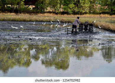 A man is plowing (by pushcart) soil in a rice field and surrounding with egret herd