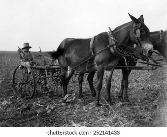 A man plows cotton in Texas. Courtesy of CSU Archives/Everett Collection