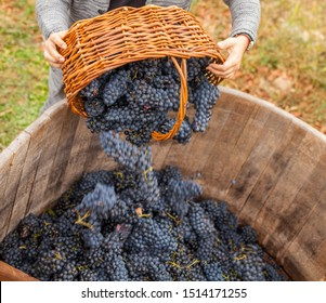 a man pours a grape harvest for wine from a wicker basket into a wooden barrel