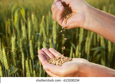 man pours wheat from hand to hand on the background of a wheat field