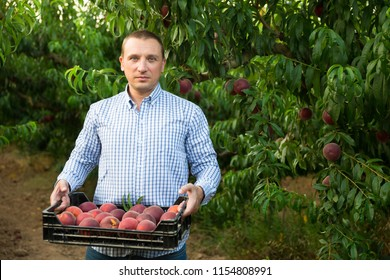 Man  professional horticulturist holding crate with  peaches in garden