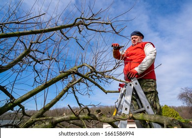 Man pruning fruit tree branches.  Work in the home garden.  A scene from everyday life.