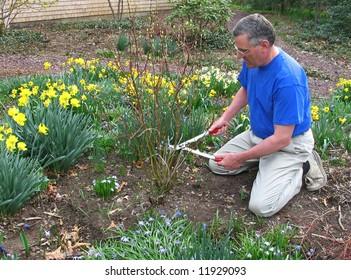 Man pruning red twig dogwood