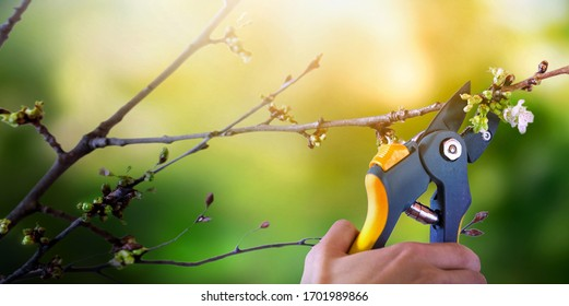 Man pruning tree with clippers. Cutting fruit trees branches in spring garden.