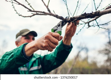 Man pruning tree with clippers. Male farmer cuts branches in spring garden with pruning shears or secateurs