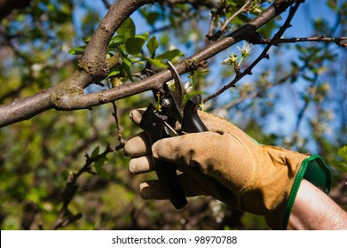 Man pruning tree with clippers. One gloved male farmer hand prunes and cuts branches of a tree in the garden with pruning shears or secateurs