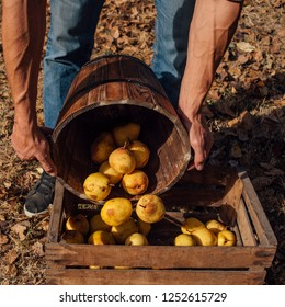 Man puts organic pears in a wooden crate