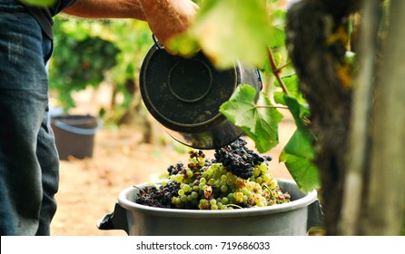 Man putting grapes into the bigger bucket while wine picking vintage in portuguese village, Portugal