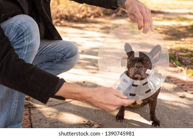 Man putting his French Bulldog a medical cone because of an ulcer in the eye
