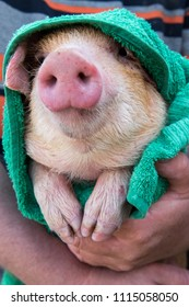Man with red hair wipes piglet after bathing with green towel