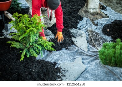 Man with red shirt is placing some mulch on geotextile fabric, around a freshly planted cedar bush. Collection that highlights the various landscaping tools, seasonal jobs and tasks.