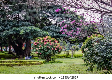 Man Relaxes under a Large Tree with Flowers Blooming in Cubbon Park in Bangalore, India