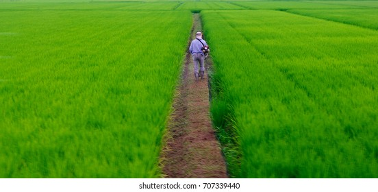 a Man in Rice plantation in Japan