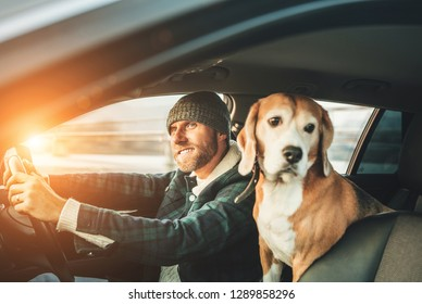 Man riding a car and his beagle dog sit inside with him