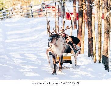 Man riding Reindeer sleigh in Finland in Lapland in winter.