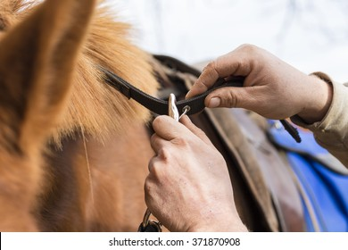 Man saddling a horse and tighten the girth. Foreground.