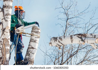 Man saws sawmill with chainsaw at height with insurance. Concept of cutting down trees with help of lines.