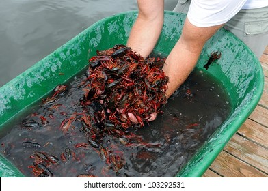 Man Scooping Live Louisiana Crawfish From Wash Tub