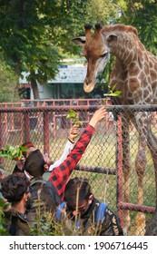 man serving leaf to Giraffe in Lahore Zoo, Pakistan... Dated 31, Jan,2021