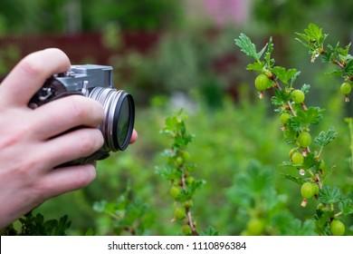 Man shooting bush of gooseberry in green summer garden. Popular hobby concept