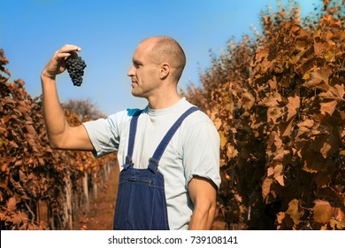 A man shows grapes in a vineyard at sunny day.