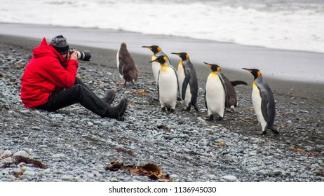 A man sits on the beach at Sandy Bay, on Macquarie Island, in Australia's sub-Antarctic, photographing king and royal penguins that walk by.