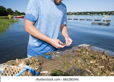 A man sorts through his freshly farmed oysters on Cape Cod, MA.