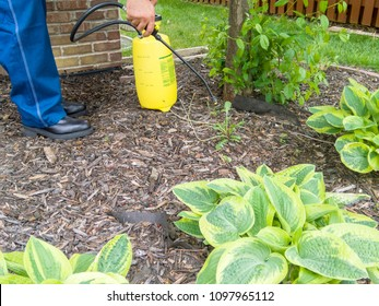 Man spraying fresh weeds in a flowerbed surrounding hostas plants using a portable plastic yellow sprayer in a cropped view of his hands