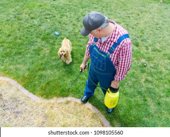 Man spraying grass in a flowerbed in his yard with weed killer watched by his cute little golden cocker spaniel dog in a high angle view