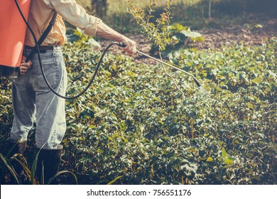 Man spraying of pesticide on potato plantation with hand spray in summer. Farmer.
