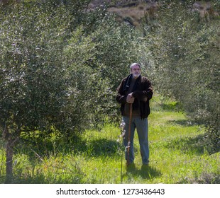Man standing in olive grove. Senior citizen standing admiring the  olive trees. Stock Image