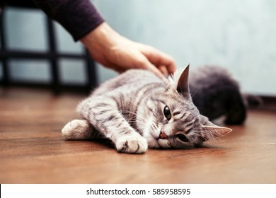 Man stroking the gray cat. The concept of pets