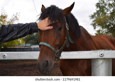 Man stroking horse. Thoroughbred racehorse walking in the paddock. Krasnoyarsk city Racecourse. Horse face close-up.  Equestrian sport. Friendship between man and animal.