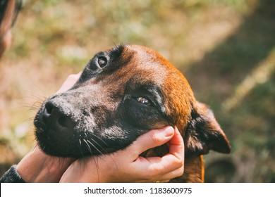 Man Stroking Malinois Dog In Summer Day. Belgian Sheepdog Or Shepherd, Belgium, Chien De Berger Belge Dog. Friendship Between Dog And Human.
