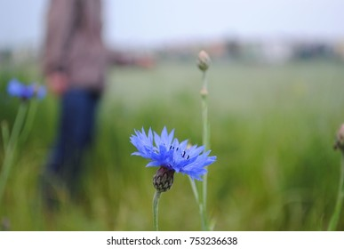 Man stroll between cornflowers on meadow or field in brown jacket or blouse. Early autumn, cold rainy day, blue flowers, cornflower main theme with blurred person. Guy walking outdoors.