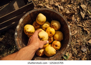 Man takes organic pears from wooden crate