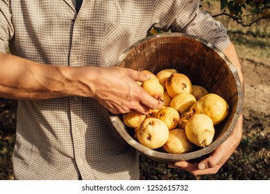 Man takes organic yellow pears from wooden pot