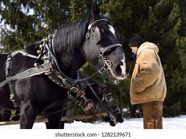 Man tending two black sleighride horses harnessed for a winter ride in a forest Kortright Centre for Conservation,  Woodbridge, Ontario, Canada - March 1, 2015