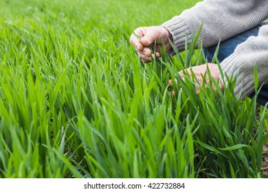 A man is touching green wheat with two hands in the field
