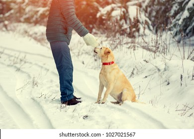The man is training the dog labrador retriever, walking on snowy pine forest in winter