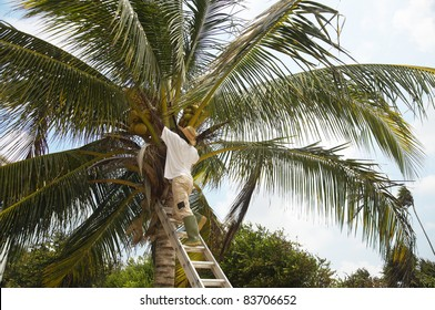 A man up a tree picking coconuts
