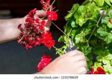 Man trimming dead geranium flowers with scissors. Gardening and maintenance concept. Landscape design